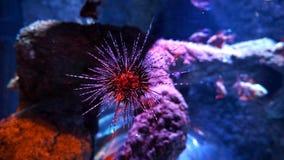 Sea life aquarium red Hedgehogs. Istanbul sea life aquarium Stock Image