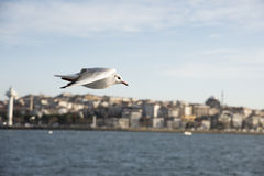 Istanbul seagull. Over the city Stock Images