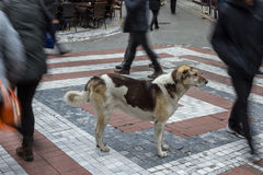 Istanbul stray dog standing in the middle of a pedestrian crossroad, people ignoring him Royalty Free Stock Photo
