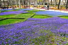 Istanbul/Turkey - April 8 2018: Grape hyacinth flowers stock photo