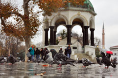 Istanbul, Turkey - November 22: Pigeons walking through puddles on the square Stock Images
