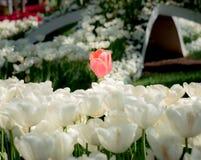 Istanbul Turkiet - April 18, 2016: Enkel röd tulpan bland vita tulpan i vår Arkivfoton