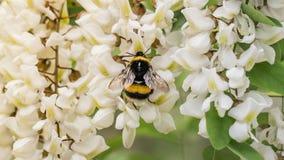Istanbul, Turquie - 18 avril 2016 : Une abeille sauvage rassemblant le nectar sur les fleurs blanches Photographie stock libre de droits