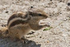 Istantanea dello scoiattolo Fotografie Stock Libere da Diritti