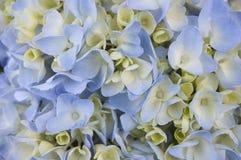 Istantanea di fioritura del fondo dell'ortensia Immagine Stock