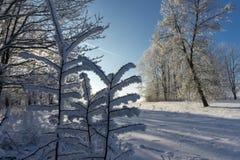 Istappar av snö eller frost som hänger från filialer arkivbilder