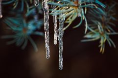 istappar på träden under smältning och därefter igen att frysa fotografering för bildbyråer