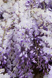 Isteria flower Royalty Free Stock Images