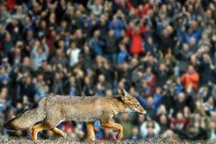 Istna lisa Leicester miasta futbolu klubu tapeta Obraz Royalty Free