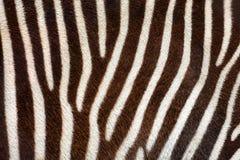 Istna zebra paskuje tło teksturę od żywego zwierzęcia Obraz Stock