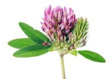 Istnej nieuprawnej łąkowej koniczyny pojedynczy kwiat jest najlepszy foo Obrazy Stock