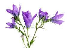 Istni błękitni dzwonów wildflowers są najlepszy jedzeniem dla krowy Zdjęcie Stock
