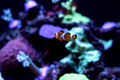 Istny Nemo Obraz Stock