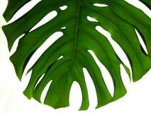 Istny tropikalny liścia splitleaf filodendron, monstera na białych tło Botaniczni natur pojęcia Mieszkanie nieatutowy projekt zie Zdjęcia Stock