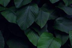 Istny tropikalny liścia tło, dżungli ulistnienie obrazy stock
