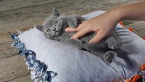 Istota ludzka pieści figlarki na poduszce zdjęcie wideo