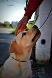 Istota ludzka wręcza rozweselać labradora szczeniaka Zdjęcie Royalty Free