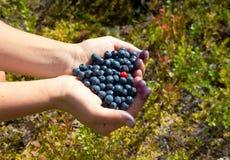 Istota ludzka wręcza trzymać garść czarne jagody z jeden brusznicą Zdjęcie Royalty Free