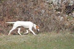 Istrian短发猎犬 库存照片