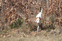 Istrian短发猎犬 库存图片
