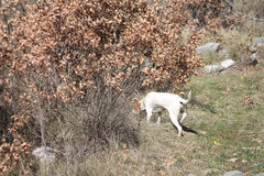 Istrian短发猎犬 免版税库存照片