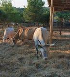 Istrian-Ochse, geschützte Zucht des Viehs in Kroatien Lizenzfreie Stockfotos