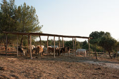 Istrian ox, protected breed of cattle in Croatia Stock Image
