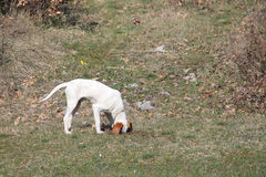 Istrian Shorthaired Hound hunts field mice Stock Image
