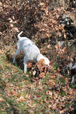 Istrian Shorthaired Hound hunts field mice Royalty Free Stock Image