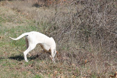 Istrian Shorthaired Hound hunts field mice Royalty Free Stock Photography