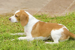 Istrian Shorthaired Hound Royalty Free Stock Photography