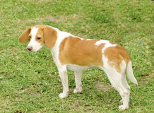 Istrian Shorthaired Hound Royalty Free Stock Photo