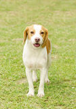 Istrian Shorthaired Hound Stock Photography