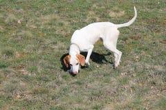 Istrian Shorthaired hund Arkivfoto