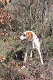 Istrian Shorthaired hund Fotografering för Bildbyråer