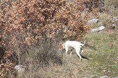 Istrian Shorthaired hund Royaltyfri Foto