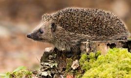 Istrice, istrice britannico selvaggio adulto sul ceppo della foresta Fotografie Stock