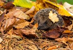 Istrice in foglie di autunno dorate, Erinaceus Europaeus, istrice selvaggio britannico Fotografia Stock