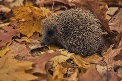 Istrice, foglie di autunno, stagione di autunno immagine stock libera da diritti