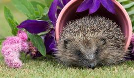 Istrice, nativo, istrice selvaggio dentro un vaso rosa della pianta immagini stock