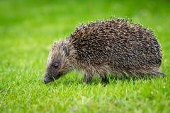 Istrice, istrice selvaggio, indigeno, europeo che cammina nell'habitat naturale del giardino con prato inglese verde immagini stock libere da diritti