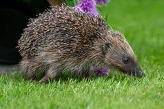 Istrice, istrice selvaggio, indigeno, europeo nell'habitat naturale del giardino con la erba cipollina di fioritura fotografia stock libera da diritti
