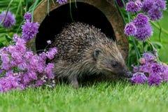 Istrice, istrice selvaggio, indigeno, europeo nell'habitat naturale del giardino con la erba cipollina di fioritura immagini stock