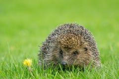 Istrice, istrice selvaggio, indigeno, europeo sul prato inglese dell'erba verde nella primavera fotografia stock