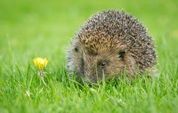 Istrice, istrice selvaggio, indigeno, europeo sul prato inglese dell'erba verde nella primavera immagine stock libera da diritti