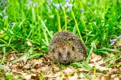 Istrice, istrice selvaggio, indigeno, europeo sul prato inglese dell'erba verde fotografie stock