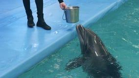 Istruttore che dà pesce durante il nuoto d'alimentazione del delfino nello stagno di galleggiamento dell'acqua blu archivi video