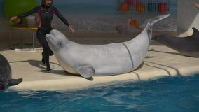 Istruttore e due delfini in dolphinarium video d archivio