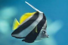 Istruzione del Bannerfish Fotografie Stock Libere da Diritti