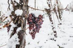 Isvin Röda druvor för vin för isvin i vintervillkor och snö royaltyfria bilder